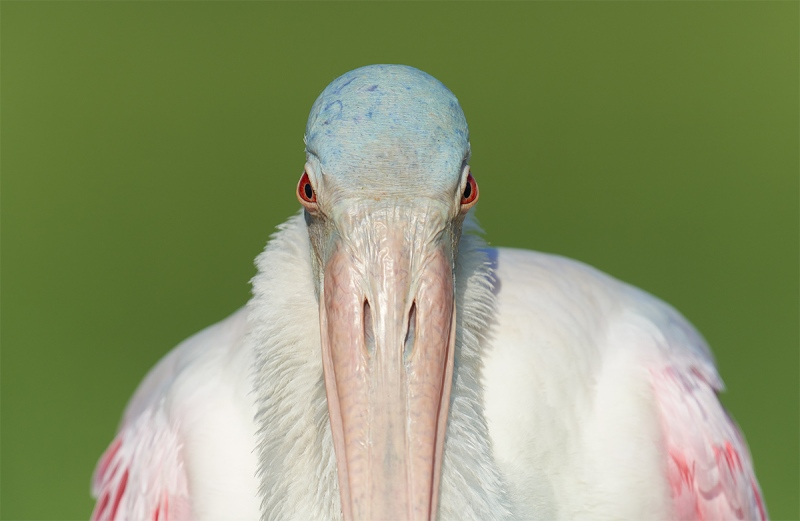 Roseate-Spoonbill-with-ruff-boxy-tight-_7R46802-Fort-DeSoto-Park-FL-3