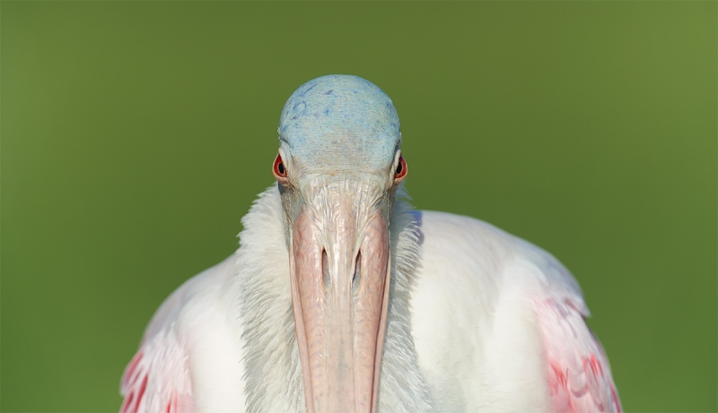 Roseate-Spoonbill-with-ruff-pano-_7R46802-Fort-DeSoto-Park-FL-3