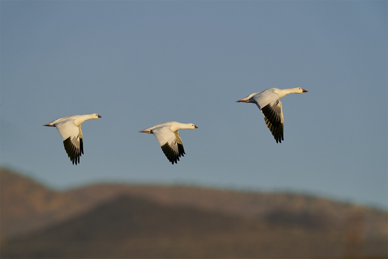 Rosss-Geese-trio-in-flight-_A920773-Bosque-del-Apache-NWR-San-Antonio-NM-1