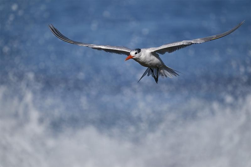 Royal-Tern-landing-_DSC4532-San-Diego-CA-1