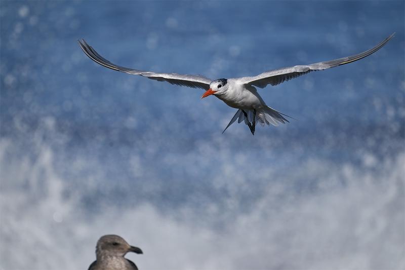 Royal-Tern-landing-with-imm-Western-Gull-watching-_DSC4532-San-Diego-CA-1