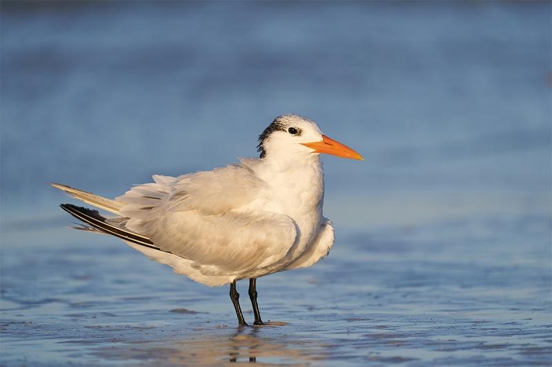Royal-Tern-winter-plumage-adult-_A9B2477-Fort-DeSoto-Park-FL-1