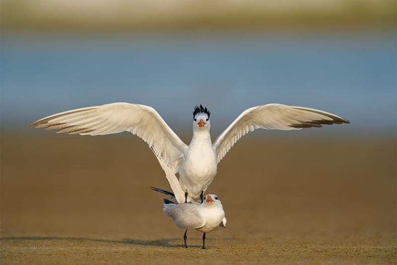 Royal-Terns-copulating-_A9B1716-Fort-DeSoto-Parr-FL-1