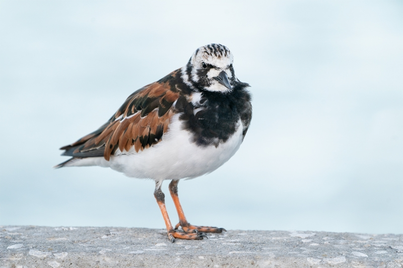 Ruddy-Turnstone-breeding-plumage-in-shade-_A9A9866-Fort-DeSoto-Park,--Tierra-Verde,-FL