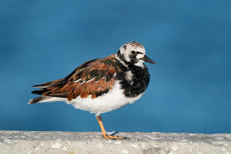 Ruddy-Turnstone-breeding-plumage-in-sun-_A9A9939-Fort-DeSoto-Park,--Tierra-Verde,-FL