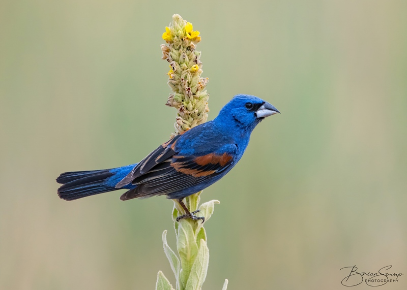 SUMP-blog-Blue-Grosbeak-HORIZONTAL-Brian-Sump_BMS5032-FORUM-SIG-SS45_.3-touch-final
