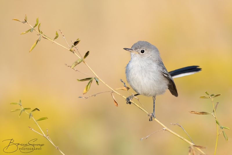 SUMP-blog-Blue-gray-Gnatcatcher-Leafy-Branch-Brian-Sump_BMS3490-FORUM-SIG-touchlarge-SS20_.3-touc