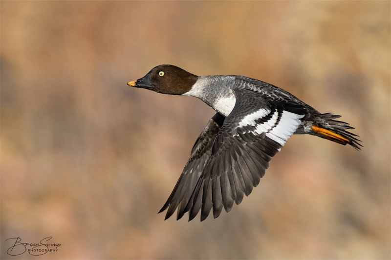 SUMP-blog-Goldeneye-Amanda-wingsdown-orange-Brian-Sump-BMS_8200-FORUM-SIG-USM70