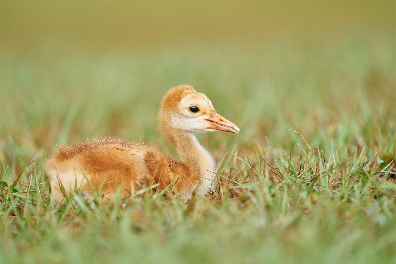 Saandhill-Crane-2-week-old-chick-resting-_A927982-Indian-Lake-Estates-FL-1