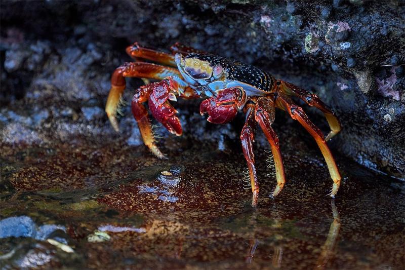 Sally-Lightfoot-Crab-sub-adult-_A7R8898-Punta-Vicente-Roca-Galapagos-1