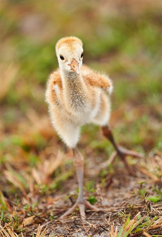 Sandhill-Crane-1-week-old-chick-stretching-_7R40942-Indian-Lake-Estates-FL-1
