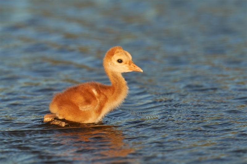 Sandhill-Crane-2-3-day-old-chick-wading-_7R40249-Indian-Lake-Estates-FL-1