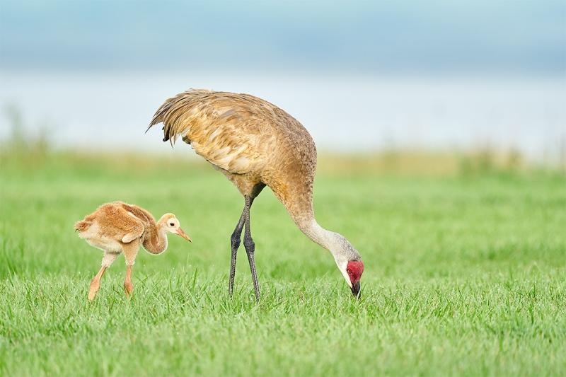 Sandhill-Crane-3-week-old-colt-with-adult-_A9B3023-Indian-Lake-Estates-FL-1