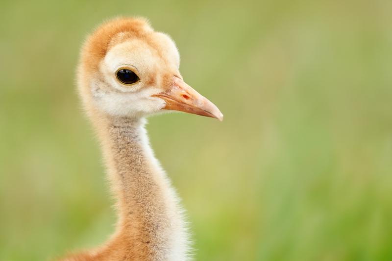 Sandhill-Crane-Mothers-Day-chick-at-1-week-_7R41226-Indian-Lake-Estates-FL-1