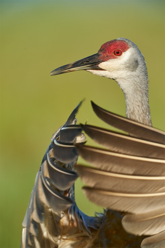 Sandhill-Crane-adult-flapping-in-place-_A9B5470-Indian-Lake-Estates-FL-1