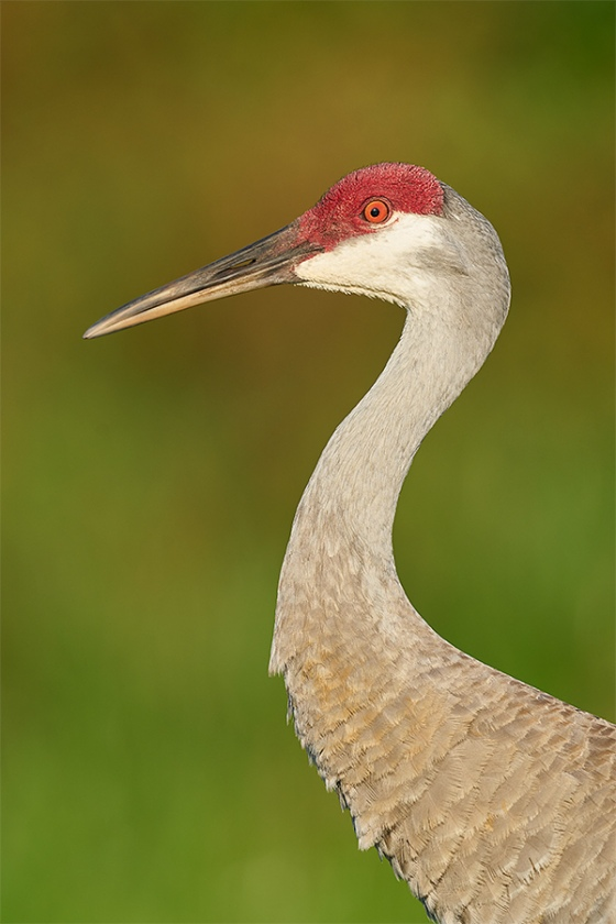 Sandhill-Crane-adult-head-and-shoulders-eye-replaced-_A9B9302-Indian-Lake-Estates-FL-1