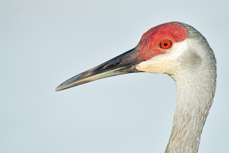 Sandhill-Crane-adult-head-portrait-_7R47155-Indian-Lake-Estates-FL-1
