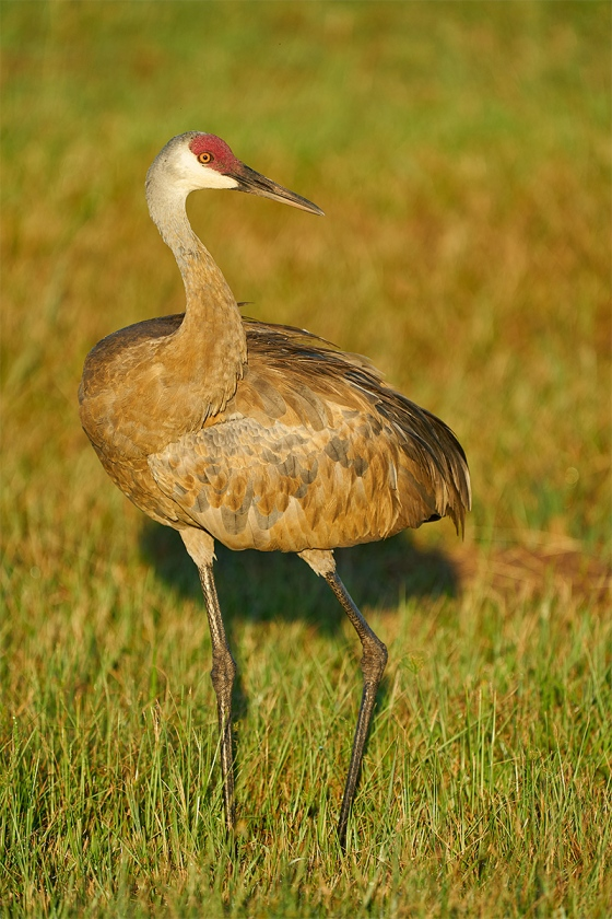 Sandhill-Crane-adult-in-early-morning-light-_A9B4230-Indian-Lake-Estates-FL-1