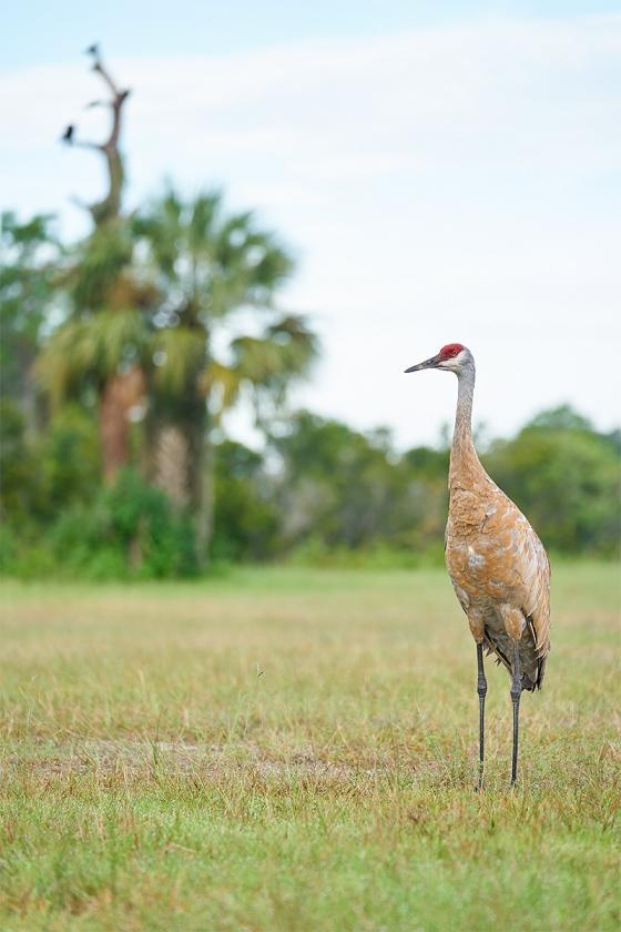 Sandhill-Crane-adult-vulture-tree-_A9B5613-Indian-Lake-Estates-FL-1