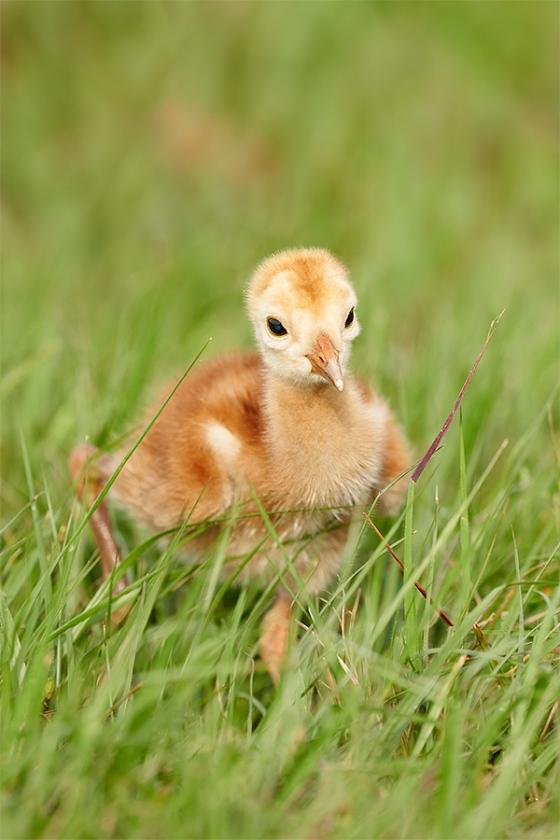 Sandhill-Crane-chick-days-old-_7R41809-Indian-Lake-Estates-FL-1