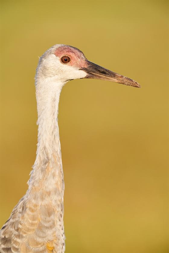 Sandhill-Crane-colt-A-about-5-months-old-_A9B6829-Indian-Lake-Estates-FL-1