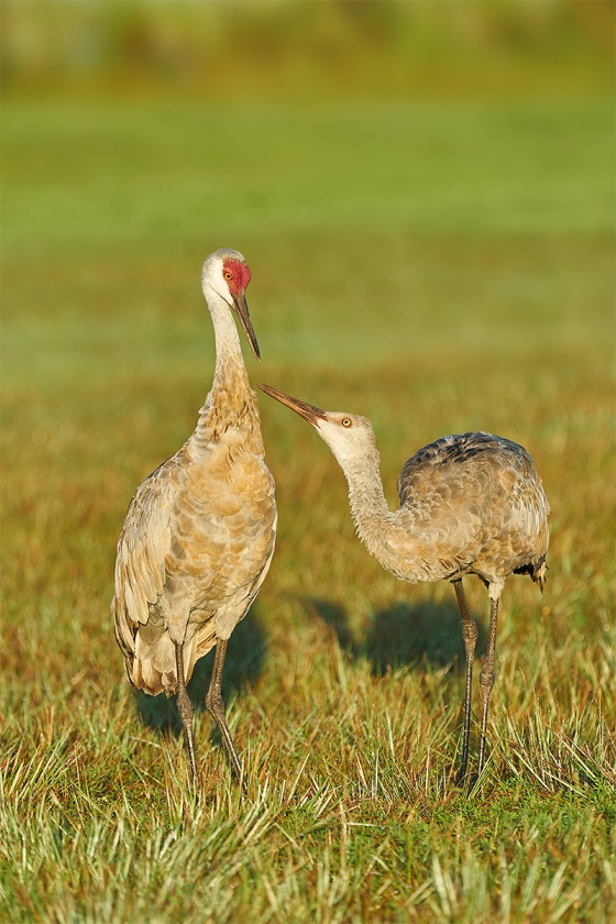 Sandhill-Crane-colt-begging-_A928607-Indian-Lake-Estates-FL-1