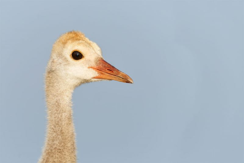 Sandhill-Crane-colt-head-portrait-_7R41646-Indian-Lake-Estates-FL-1