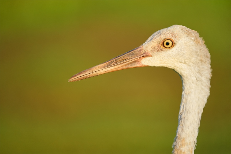 Sandhill-Crane-colt-head-portrait-_A9B5653-Indian-Lake-Estates-FL-1