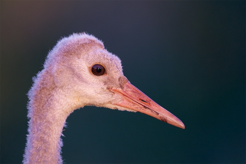 Sandhill-Crane-colt-head-portrait-in-late-light-_A924363-Indian-Lake-Estates-FL-1