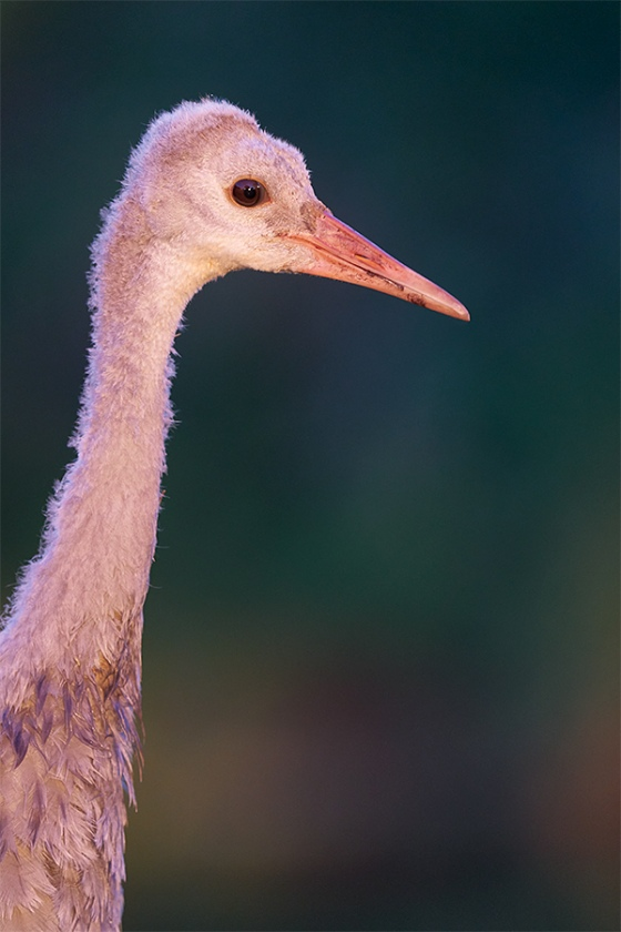Sandhill-Crane-colt-in-late-ligth-_A924340-Indian-Lake-Estates-FL-1