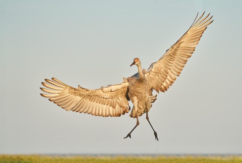 Sandhill-Crane-colt-leaping-up-_7R49040-Indian-Lake-Estates-FL-1