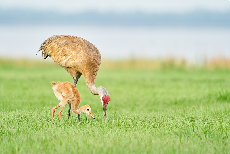 Sandhill-Crane-feeding-large-chick-_A9B3035-Indian-Lake-Estates-FL-1