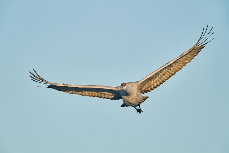 Sandhill-Crane-head-on-flight-_A928565-Bosque-del-Apache-NWR-San-Antonio-NM-1