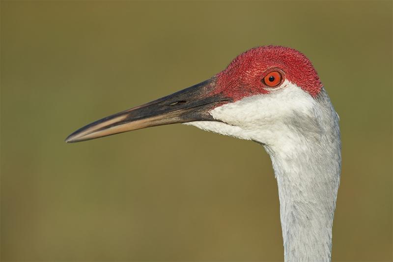 Sandhill-Crane-head-portrait-_DSC5121-Indian-Lake-Estates-FL-1