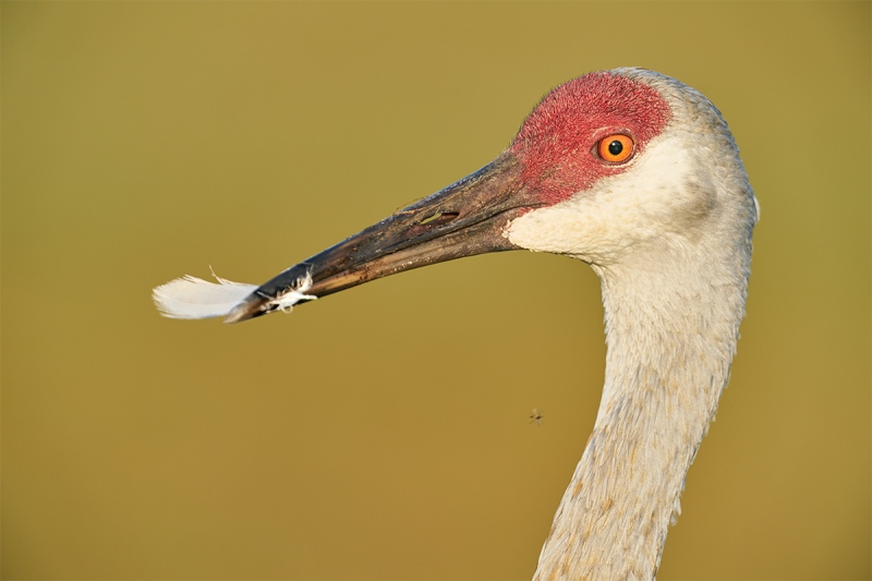 Sandhill-Crane-holding-preened-body-feather-_A9B6822-Indian-Lake-Estates-FL-1