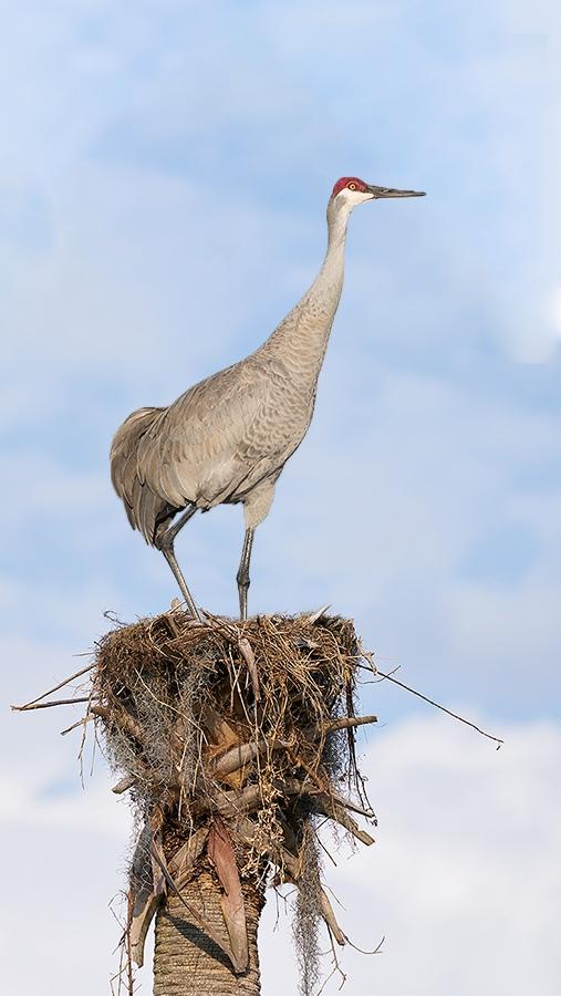 Sandhill-Crane-on-nest-_A9B8037-Indian-Lake-Estates-FL-1