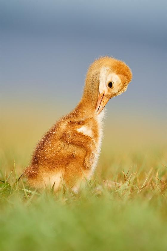 Sandhill-Crane-one-week-old-chick-preening-_A927962-Indian-Lake-Estates-FL-1
