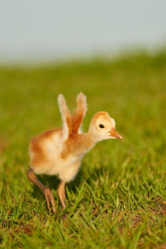 Sandhill-Crane-small-chick-stretching-wing-stubs-_7R40829-Indian-Lake-Estates-FL-1