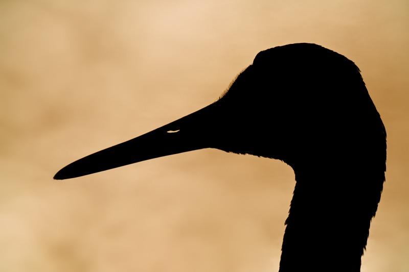 Sandhill-Crane-super-bright-silhouette-_7R43421-Indian-Lake-Estates-FL-1