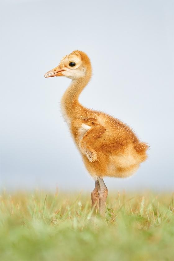 Sandhill-Crane-wet-chick-1-week-old-_A927946-Indian-Lake-Estates-FL-1