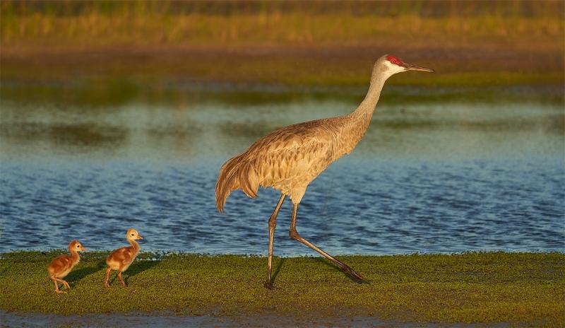 Sandhill-Crane-with-2-3-day-old-chicks-_7R49928-Indian-Lake-Estates-FL-1