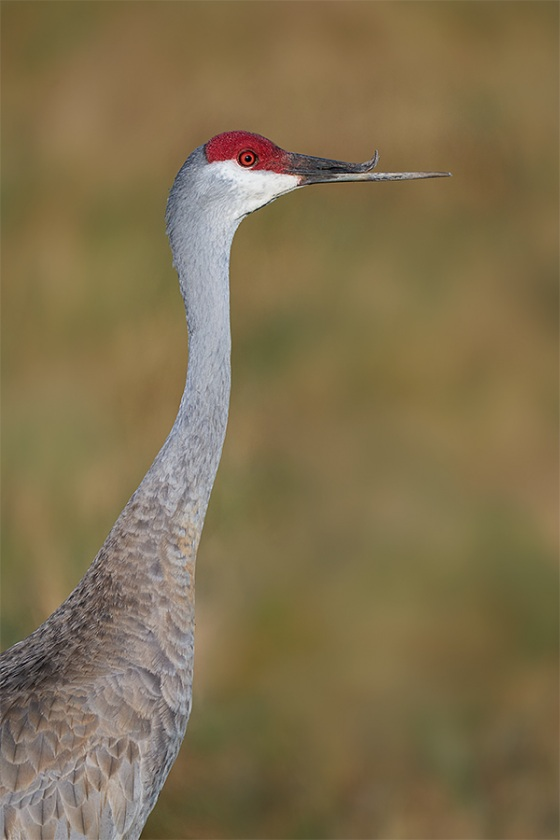 Sandhill-Crane-with-deformed-bill-_A9B5395-Indian-Lakee-Estates-FL-1
