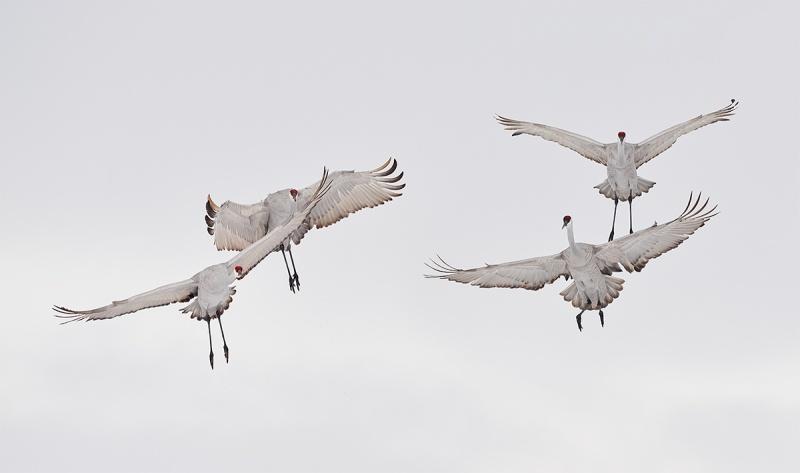 Sandhill-Cranes-a-need-air-traffic-control-_7R43692-Bosque-del-Apache-NWR-San-Antonio-NM-1