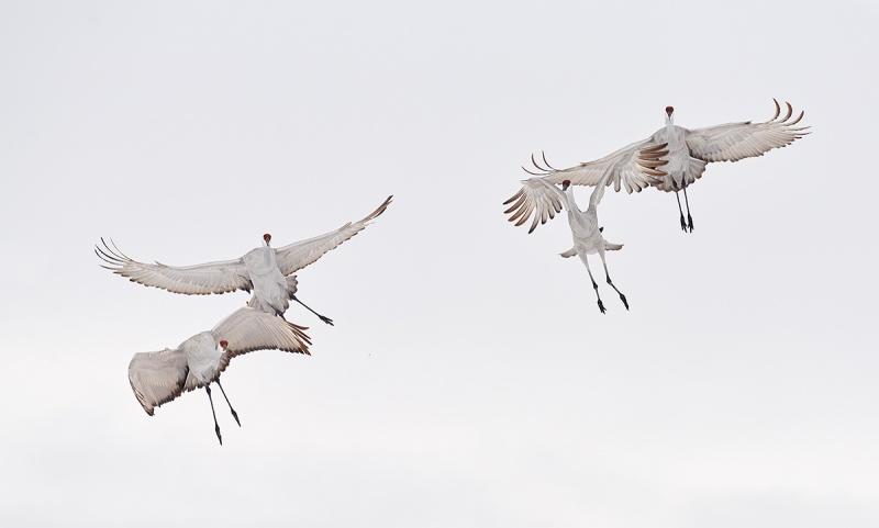 Sandhill-Cranes-near-collison-a-_7R43693-Bosque-del-Apache-NWR-San-Antonio-NM-1