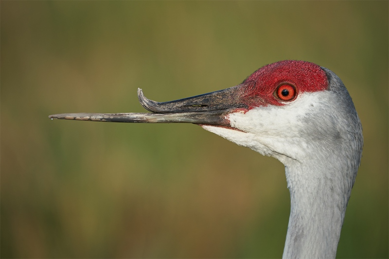 Sandhilll-Crane-with-deformed-bill-_A9A8536-Indian-Lake-Estates-FL-1