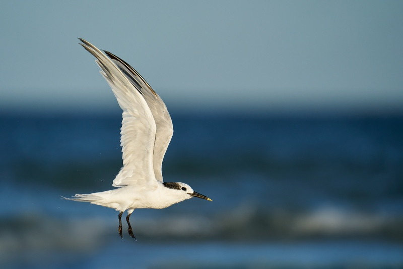 Sandwich-Tern-after-bath-flight-_A9B2749-Fort-DeSoto-Park-FL-1