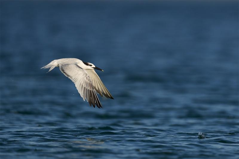 Sandwich-Tern-fishing-_DSC1738-Fort-DeSoto-Park-Pinellas-County-FL-1
