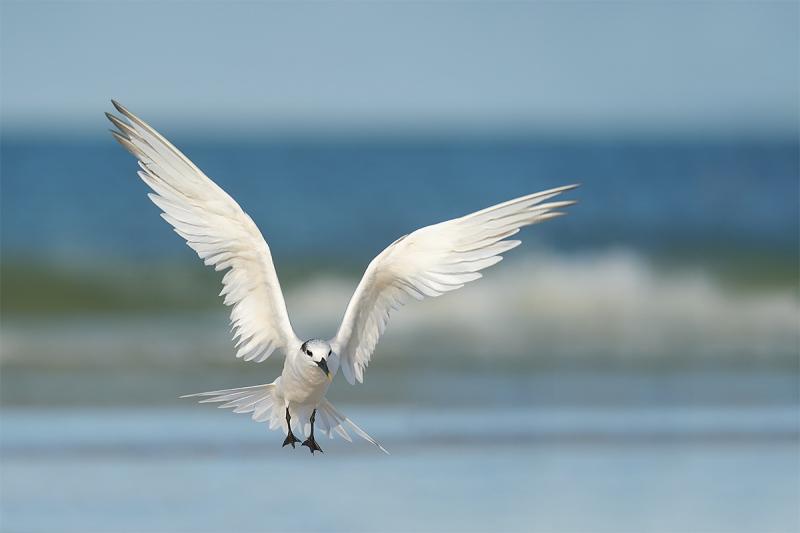 Sandwich-Tern-landing-_A9B0707-Fort-DeSoto-Park-FL-1
