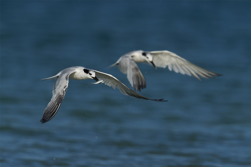 Sandwich-Terns-tandem-fishing-_DSC3451-Fort-DeSoto-Park-Pinellas-County-FL-1