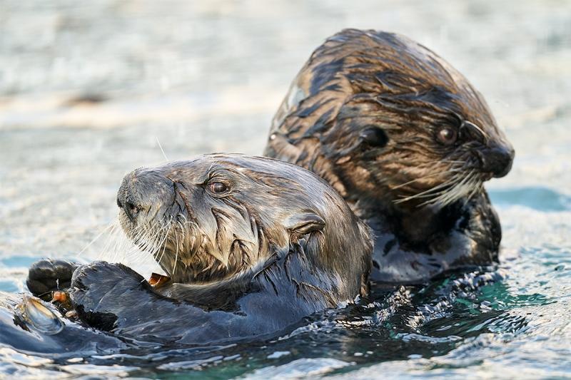 Sea-Otter-pair-_A9B3242-Homer-AK